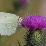 Papillon citron Île-de-France Helloways